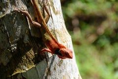 Tajlandzki kameleon na kokosowym drzewie Zdjęcia Royalty Free