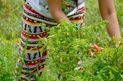Tajlandzki kobiety żniwa chili Fotografia Stock