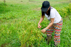 Tajlandzki kobiety żniwa chili Zdjęcia Royalty Free
