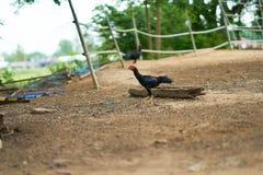 Tajlandzki koguta spacer w gospodarstwie rolnym zdjęcia stock