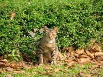 Tajlandzki kot w ogródzie Obrazy Stock