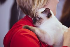 Tajlandzki kot w rękach właściciel, wystawa zwierzę domowe zdjęcie royalty free