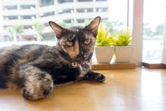 Tajlandzki kot z strasznymi oczami zdjęcie royalty free