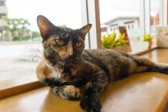 Tajlandzki kot z strasznymi oczami zdjęcie stock