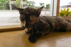 Tajlandzki kot z strasznymi oczami fotografia royalty free