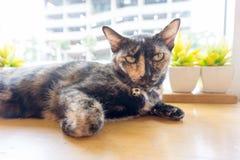 Tajlandzki kot z strasznymi oczami na drewnianym barze zdjęcie royalty free