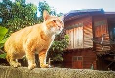 Tajlandzki kota spacer na cementowej ścianie Fotografia Royalty Free