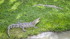 Tajlandzki krokodyl Obraz Royalty Free