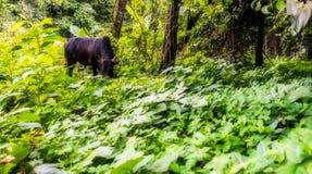 Tajlandzki krowy pasanie w tropikalnego lasu deszczowego polu obrazy stock