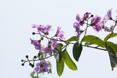 Tajlandzki kwiat, okwitnięcie kwiat (Tabaka) Wybrana ostrość Obrazy Royalty Free