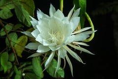 Tajlandzki kwiat przy nocą Zdjęcie Stock