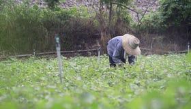 Tajlandzki lokalny rolnika zbierać słodcy potatoyams w polu, filtrujący wizerunek, selekcyjna ostrość Zdjęcie Royalty Free