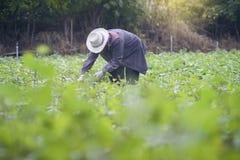 Tajlandzki lokalny rolnika zbierać słodcy potatoyams w polu, filtrujący wizerunek, selekcyjna ostrość Obrazy Royalty Free