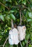 Tajlandzki mango dynda od gałąź Zdjęcie Royalty Free