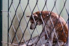 Tajlandzki pies w klatce Obrazy Royalty Free