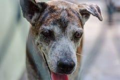 Tajlandzki pies w klatce dla zwierzęcia domowego pojęcia Fotografia Royalty Free