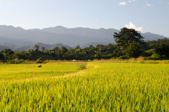 Tajlandzki Pszeniczny pole Fotografia Royalty Free