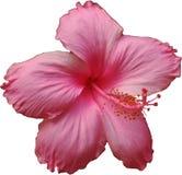 Tajlandzki Różowy Hibicus kwiat Zdjęcie Royalty Free