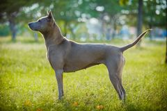 Tajlandzki ridgeback pies outdoors Obrazy Stock