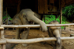 Tajlandzki słoń fotografia royalty free