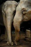 Tajlandzki słoń zdjęcia stock