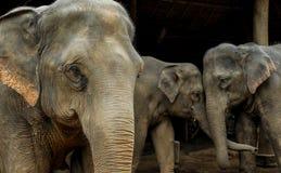 Tajlandzki słoń zdjęcie royalty free