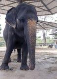 Tajlandzki słoń przy słoń wioską Fotografia Stock