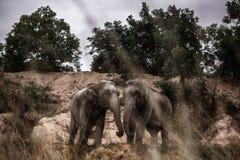 Tajlandzki słoń w naturze Obraz Royalty Free