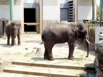 Tajlandzki słoń wewnątrz, Miyazaki miasta feniksa zoo Fotografia Stock