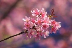 Tajlandzki Sakura zdjęcie stock
