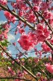 Tajlandzki Sakura kwiat Obraz Royalty Free