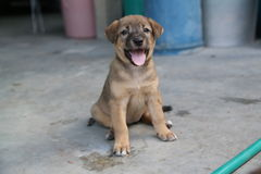 Tajlandzki szczeniak Fotografia Royalty Free