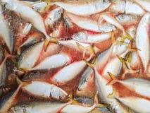 Tajlandzki tuńczyk marznący Zdjęcie Stock