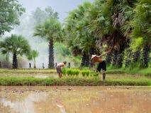 Tajlandzkiego rolnika przeszczepu ryżowe rozsady na fabuły polu przy Sako Fotografia Stock
