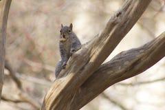 Tajna wiewiórka Zdjęcia Stock