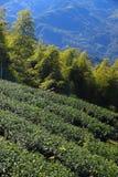 Tajwańska herbaciana plantacja obrazy stock