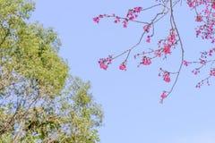 Tajwańska wiśnia z niebieskim niebem i biel chmurą Zdjęcie Stock