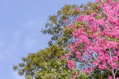 Tajwańska wiśnia z niebieskim niebem i biel chmurą Fotografia Stock