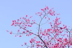 Tajwańska wiśnia z niebieskim niebem i biel chmurą Obrazy Royalty Free