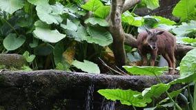 Tajwański serow odprowadzenie w rzece lasowy Capricornis swinhoei zbiory