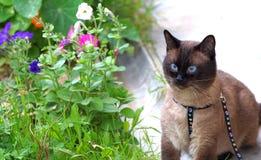 Tajwański kot Zdjęcie Royalty Free