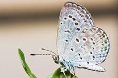 Tajwański Szklany motyl Zdjęcie Royalty Free