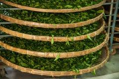 Tajwan Chiayi miasto, D?ugi Misato terytorium herbaciani pracownicy fabryczni wiesza Oolong herbaty (herbaty najpierw proces: sus Obrazy Royalty Free