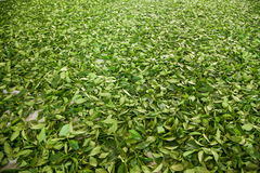 Tajwan Chiayi miasto, D?ugi Misato terytorium herbaciani pracownicy fabryczni wiesza Oolong herbaty (herbaty najpierw proces: sus Zdjęcia Stock