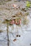 także gdy filiżanka znać w okolicy małpia dzbaneczników miotacza roślina Zdjęcia Royalty Free