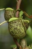 także gdy filiżanka znać w okolicy małpia dzbaneczników miotacza roślina Zdjęcia Stock