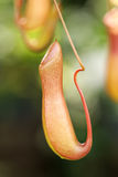 także gdy filiżanka znać w okolicy małpia dzbaneczników miotacza roślina Fotografia Royalty Free