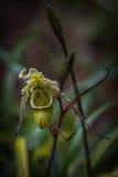 także gdy filiżanka znać w okolicy małpia dzbaneczników miotacza roślina Zdjęcie Royalty Free