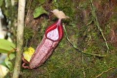 także gdy filiżanka znać w okolicy małpia dzbaneczników miotacza roślina Zdjęcie Stock