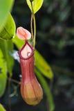 także gdy filiżanka znać w okolicy małpia dzbaneczników miotacza roślina Obrazy Stock